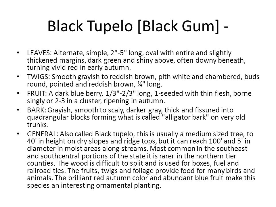 Black Tupelo [Black Gum] -